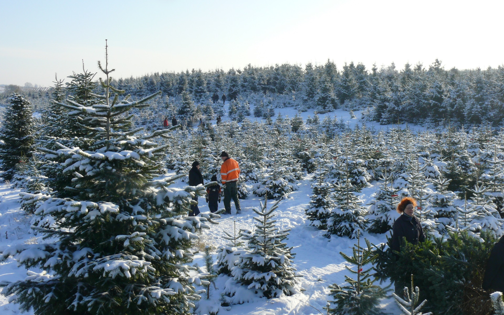 oberförsterei potsdam weihnachtsbäume