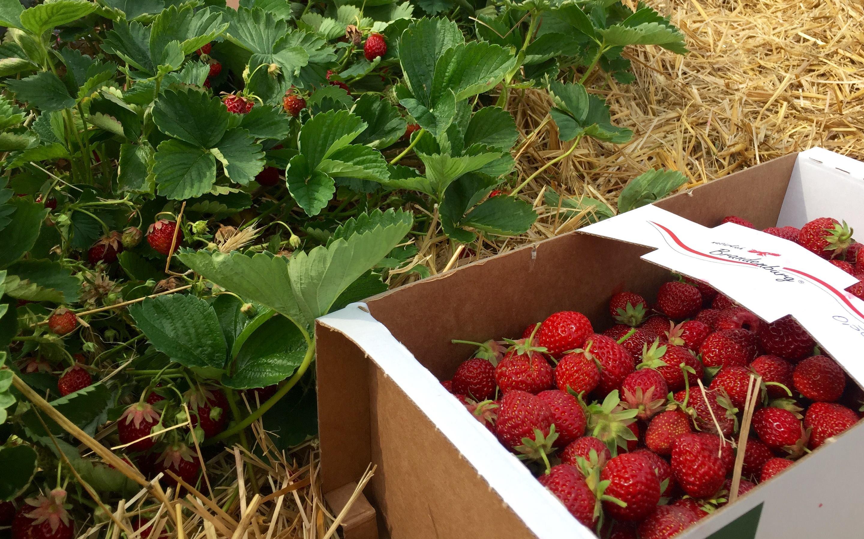 Erdbeeren Selbst Pflücken Frankfurt